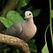 Collared dove by Peter Wiggerman