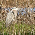 Great Blue Heron, Sacramento National Wildlife Refuge by Maurine Huang