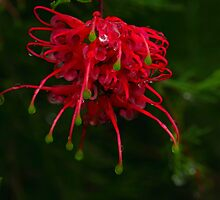 Grevillea #3 by Elaine Teague