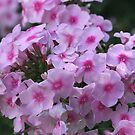 Woodland Phlox - Phlox divaricata  by Tracy Faught