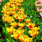 Beautiful tulips in blossom by stereoscopic