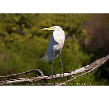 A posing great egret Photographic Print