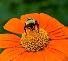 Tithonia Bee by Adam Bykowski