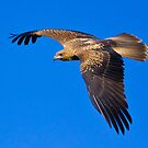 Whistling Kite by Dean Cunningham
