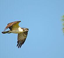 Osprey on the Hunt by imagetj