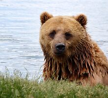 bear_3 by gallofoto
