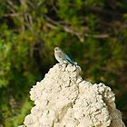 Female Mountain Blue Bird in Badlands National Park by Scott Hendricks