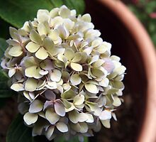 potted hydrangea by Linda  Makiej