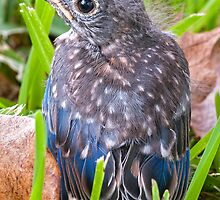 Fledgling Bluebird on its Maiden Flight by Bonnie T.  Barry