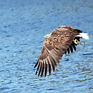 Sea Eagle with Fish by Laurel Talabere