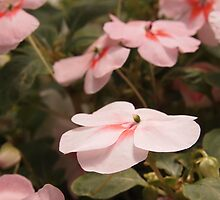 Pink Impatiens by Linda  Makiej Photography