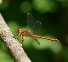 Autumn Meadowhawk by Gillian Marshall