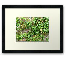 Espaliered Conference Pears Framed Print
