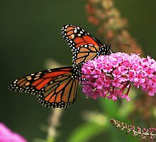 Monarch Duo by Debbie  Roberts