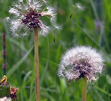 Withered Dandelion Flower Meadow Plant by HQPhotos