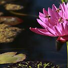 Busy Bees and Pink Water Lily by Robert Armendariz