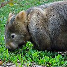 Mr Wombat by waxyfrog