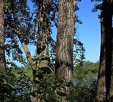 Five old balsam poplar trees by Jim Sauchyn