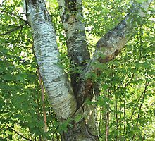 White Birch by Jim Sauchyn