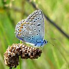 The Silver-studded Blue by ienemien