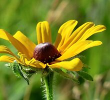 Black-eyed Susan by Kathleen M. Daley