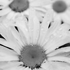 Dew on the Daisy by Derick Gray