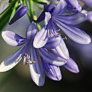 Allium Flower by saseoche