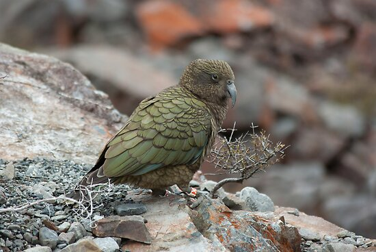 Kea by johngs