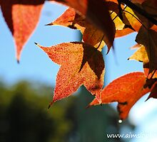 Sweet Gum Leaves by -aimslo-