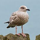 Young Gull by JEZ22