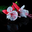 Fuchsias Duo by Tom Newman