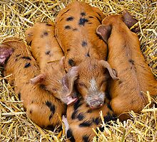 Piggy In The Middle ~ Buckham Fair by Susie Peek