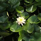 Lotus Flower & Lily Pads by -aimslo-