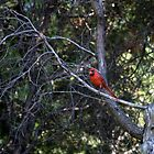 Cardinal In Tree by Barry W  King