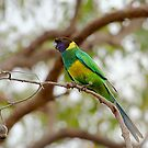 28 Parrot subspecies of the Australian Ringneck Parrot by Nigel Donald