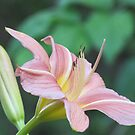 A Dream of a Lily by orko