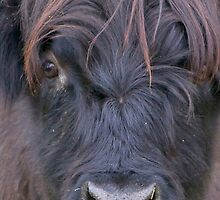 Black Hairy Coo by Karen Marr