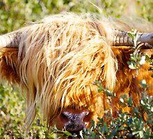 Bullish Hairy Coo by Karen Marr