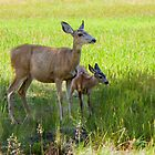 Mule Deer by Yukondick