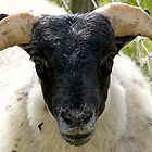 Scottish Blackface tup lamb by Karen Marr
