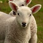 Peek a Boo lambs by Karen Marr