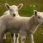 Two little lambs by Karen Marr