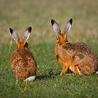 Hares Have Ears by Patricia Jacobs CPAGB