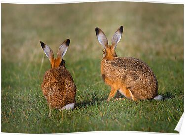 Hares Have Ears by Patricia Jacobs CPAGB LRPS BPE2
