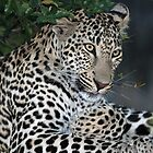 Another georgeous Sabi Sands leopard(I  know i am pretty !) by jozi1