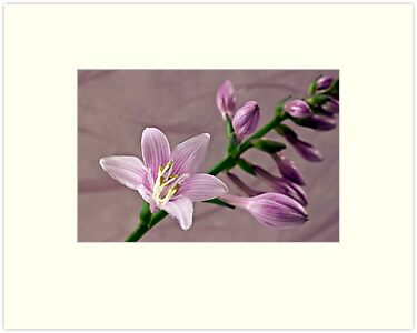 Hosta Blossom And Buds by Sandra Foster