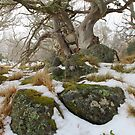 Snow gums grass and  granite . by Donovan wilson