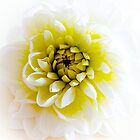 White Dahlia by Art-Motiva