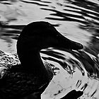 Lonely Duck  by Cfbphotography