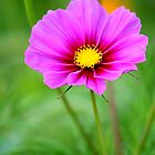Two Tone Cosmo by Brent McMurry